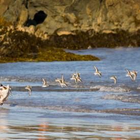 Dog Chases Sea Birds 2