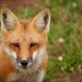 Prince Edward Island Fox