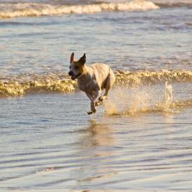 Sea Dog at Sunset