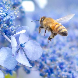 Bee and Blue Hydrangea